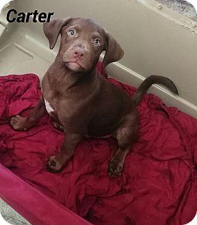 Labrador Retriever Mix Puppy for adoption in Trenton, New Jersey - Carter
