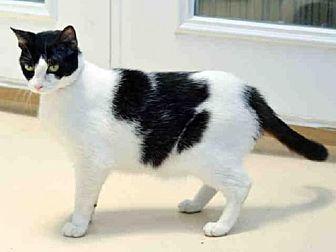 Domestic Mediumhair Cat for adoption in Sanford, Florida - HUNTRESS