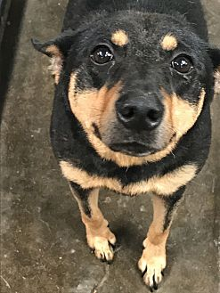Shepherd (Unknown Type) Mix Dog for adoption in Jackson, Mississippi - Tinkerbell