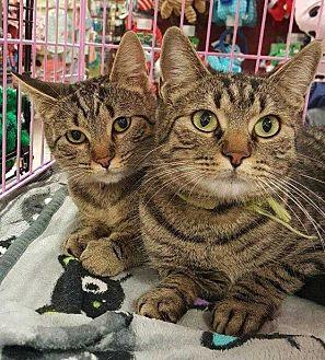 Domestic Shorthair Cat for adoption in Woodstock, Georgia - Garnet