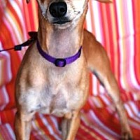 Adopt A Pet :: Tiny Dancer - Gilbert, AZ