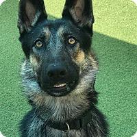 German Shepherd Dog Dog for adoption in Cape Coral, Florida - Rose