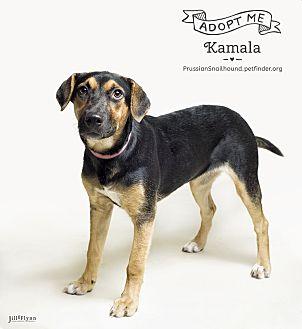 Shepherd (Unknown Type)/Hound (Unknown Type) Mix Dog for adoption in Phoenix, Arizona - Kamala