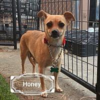 Adopt A Pet :: Honny - Las Vegas, NV