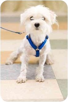 Havanese Dog for adoption in Portland, Oregon - Buster