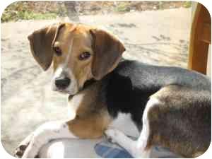 Beagle Mix Dog for adoption in Cincinnati, Ohio - Reggie