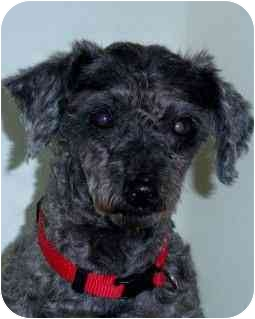 Miniature Poodle Mix Dog for adoption in Melbourne, Florida - SID