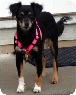 Manchester Terrier/Papillon Mix Dog for adoption in Overland Park, Kansas - Pebbles