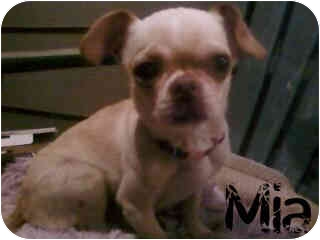 Chihuahua Mix Dog for adoption in Everman, Texas - Mia