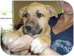 German Shepherd Dog/Boxer Mix Puppy for adoption in Adamsville, Tennessee - Perry (pending adoption)