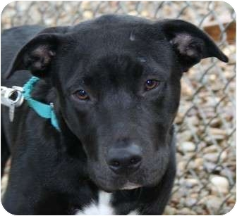 Labrador Retriever/American Staffordshire Terrier Mix Puppy for adoption in Berea, Ohio - Bowie