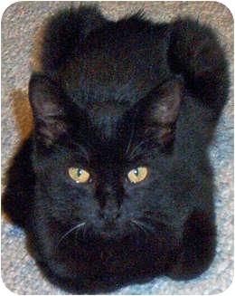 Domestic Shorthair Kitten for adoption in Mt. Prospect, Illinois - Oberon