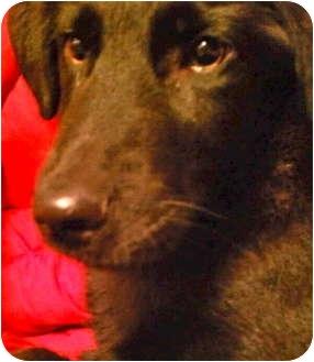 Labrador Retriever/German Shepherd Dog Mix Puppy for adoption in Bloomington, Minnesota - Jovie