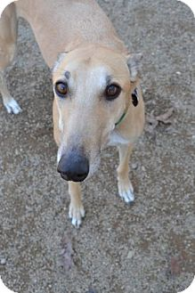 Greyhound Dog for adoption in Chagrin Falls, Ohio - Apollo (Summer Shade)