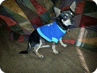 Chihuahua Dog for adoption in Shawnee Mission, Kansas - Roxy Emily
