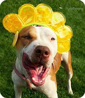 American Pit Bull Terrier Mix Dog for adoption in Sacramento, California - Delta
