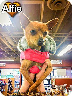 Chihuahua/Dachshund Mix Dog for adoption in Pitt Meadows, British Columbia - Alfie