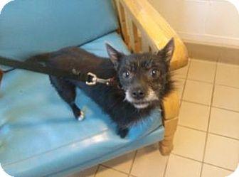 Pomeranian Mix Dog for adoption in Jackson, Michigan - Jersey