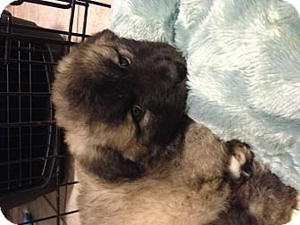 Australian Cattle Dog/Belgian Shepherd Mix Puppy for adoption in El Segundo, California - Willie