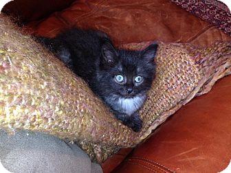 Domestic Mediumhair Kitten for adoption in Long Beach, New York - Alejandro