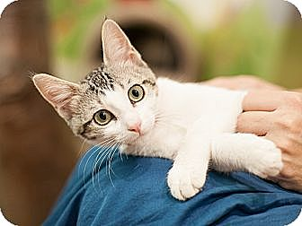 Domestic Shorthair Kitten for adoption in Dallas, Texas - Alice
