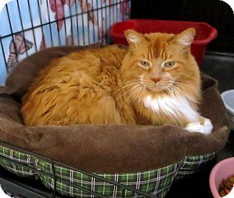 Domestic Longhair Cat for adoption in Colville, Washington - Harpo