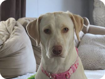 Labrador Retriever Mix Dog for adoption in Waretown, New Jersey - SANDY