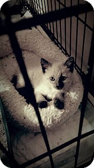Siamese Kitten for adoption in Wichita Falls, Texas - Misha