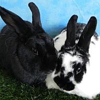 Adopt A Pet :: Cleopatra, Victoria - Pflugerville, TX