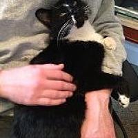 Domestic Shorthair Cat for adoption in Bryn Mawr, Pennsylvania - SAM the Mr. Perfect
