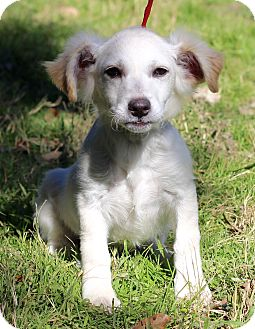 Spaniel (Unknown Type) Mix Dog for adoption in Plymouth Meeting, Pennsylvania - LUKE