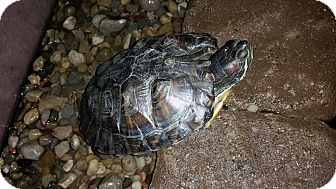 Turtle - Other for adoption in Greenfield, Indiana - Red-eared slider