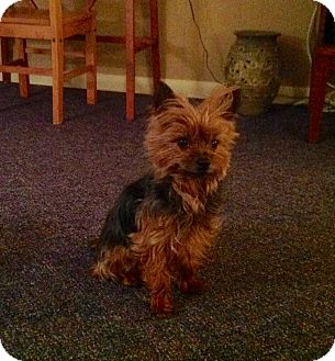 Yorkie, Yorkshire Terrier Mix Dog for adoption in Guelph, Ontario - Gryffin *Adopted*