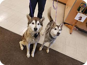 Siberian Husky Mix Dog for adoption in Shingleton, Michigan - Perdy
