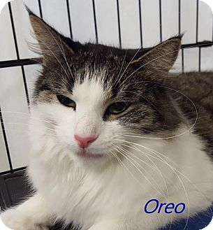 Domestic Longhair Cat for adoption in Chisholm, Minnesota - Oreo