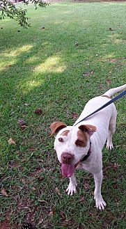 Bulldog Mix Dog for adoption in Washington, Georgia - Tazzie