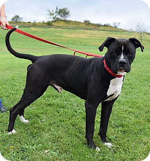 Boxer Mix Dog for adoption in Lisbon, Ohio - Bandy