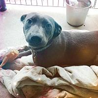 Adopt A Pet :: Zoie - Odessa, TX