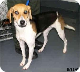 Foxhound Puppy for adoption in Waldorf, Maryland - Calypso