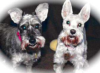 Miniature Schnauzer Dog for adoption in Sharonville, Ohio - Layla & LuLu~~ADOPT PENDING
