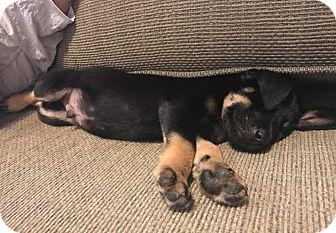 Shepherd (Unknown Type) Mix Puppy for adoption in San Antonio, Texas - Castro