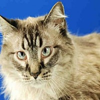 Domestic Mediumhair Cat for adoption in Fort Collins, Colorado - ZEUS