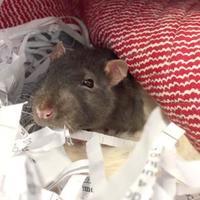Adopt A Pet :: Gouda - Williamsburg, VA