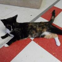 Domestic Shorthair/Domestic Shorthair Mix Cat for adoption in Thomasville, Georgia - Strudel