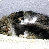 Domestic Longhair Cat for adoption in Stamford, Connecticut - Annie