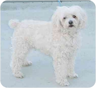 Bichon Frise Mix Dog for adoption in Austin, Minnesota - Monte