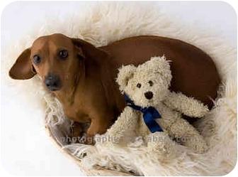 Dachshund Dog for adoption in Colleyville, Texas - Sparkles