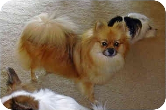 Pomeranian Dog for adoption in Kokomo, Indiana - Princess Pandi
