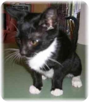 Domestic Shorthair Kitten for adoption in Naples, Florida - Jane