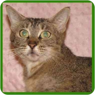 Domestic Shorthair Cat for adoption in Orlando, Florida - Esmerelda